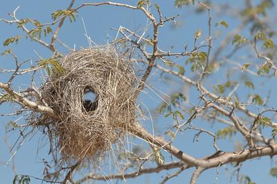 Diese Vogelnester finden man in vielen Bäumen.