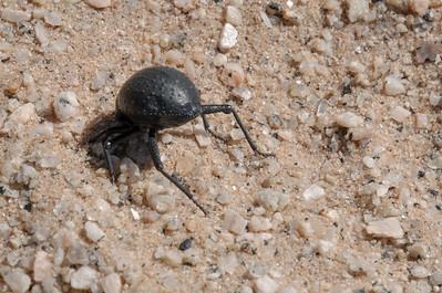 Dieser Käfer steht auf dem Kopf im Sand. Wasser kondensiert am Panzer und läuft direkt inden Mund. Haben wir am Tag vorher vom Tommy gelernt.