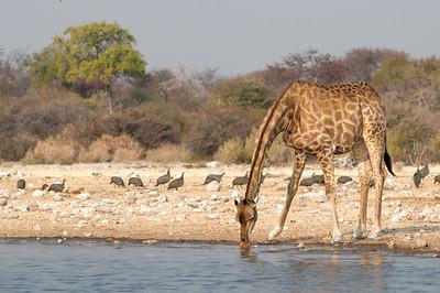 Im Etosha Gebiet sahen wir viele Giraffen.