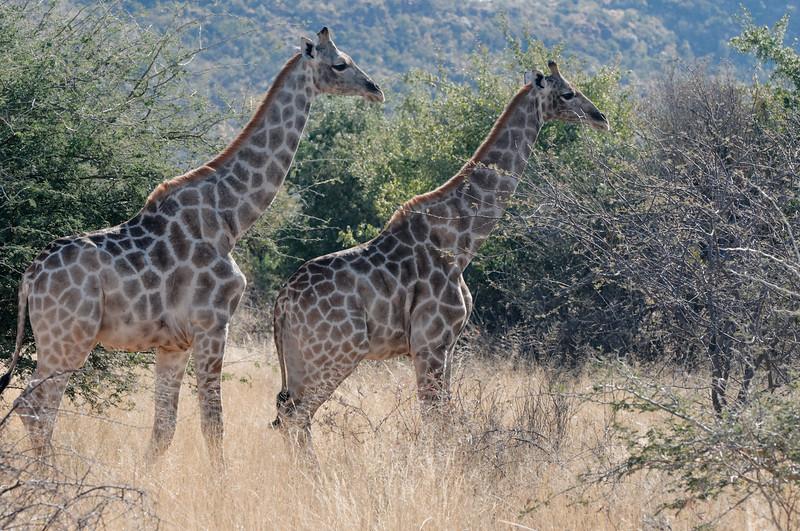 Dies sind weibliche Giraffen, wie man leicht an den Haaren auf den Hörnern erkennt.