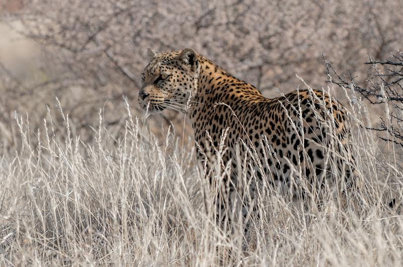 Die Leopardin Lisa war früher zahm, aber jetzt ist sie zu gefährlich, um ihr nahe zu kommen. Sie war auf der anderen Seite eines Zauns.
