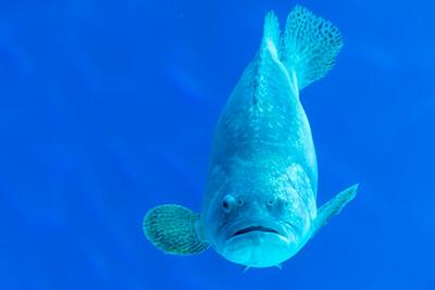 Ein Zackenbarsch (Grouper). Die sollen sogar Haie verspeisen.