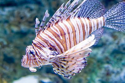 Ein Drachenfisch.