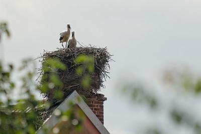 Auf einem der Nachbarhäuser wohnt eine Storchenfamilie.