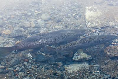 Sind ds Lachse? Der Fluss in Pingvillir war voll davon!