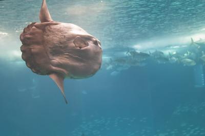 Aber wesentlich beeindruckender war der Sonnenfisch.