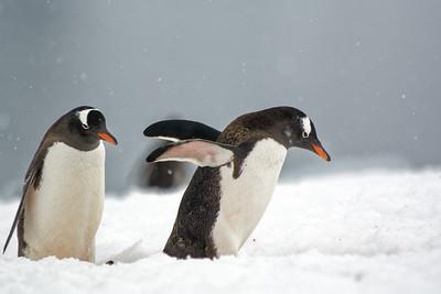 Wenn die Pinguine vom Bad im Meer zurück kommen, sind sie sauber.