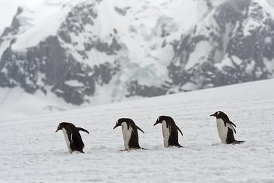 Diese Pinguine sind auf dem Weg zum Meer.