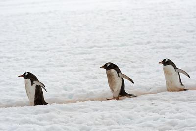 Die Pinguine, die zum Wasser gehen, sehen etwas dreckig aus. Die, die vom Wasser kommen, sind sauberer. Diese gehen zum Wasser, weil sir Futter und ein Bad brauchen.
