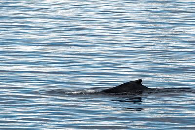 Einige Buckelwale tummelten sich direkt am Boot. Der Kapitän hielt an, damit wir das Schauspiel geniessen konnten. Leider musste er den Regeln entsprechend nach 30 Minuten weiterfahren.