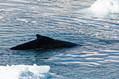 Ein Wal taucht direkt vorm Boot auf.
