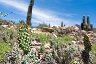 Die Kakteen im Humahuaca Tal wachsen nur sehr langsam.