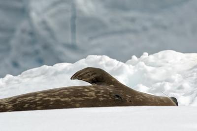 Eine Weddelrobbe. Auf dem Schnee sieht man sie ganz gut. Wenn sie aber swischen Steinen liegen, sind sie gut getarnt.