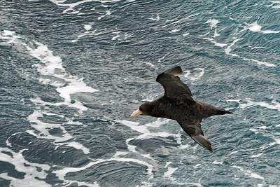 Albatrosse begleiten das Boot auf der Rückfahrt nach Ushuaia.