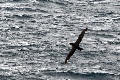 Albatrosse begleiten das Schiff.