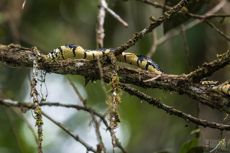 Tiger Rat Snake