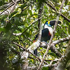 Tucan (White-Throated Toucan)