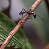 Riesenameise (Bullet Ant)