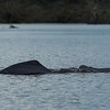 Flussdelphine in der Laguna Grande