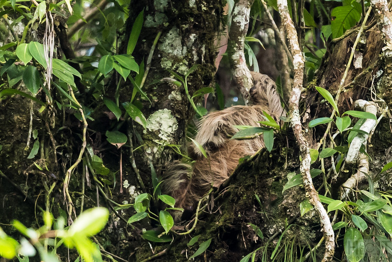 Faultier (Sloth)