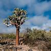Opuntien Baum