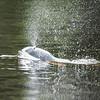 Flussdelphin im Guyabeno River