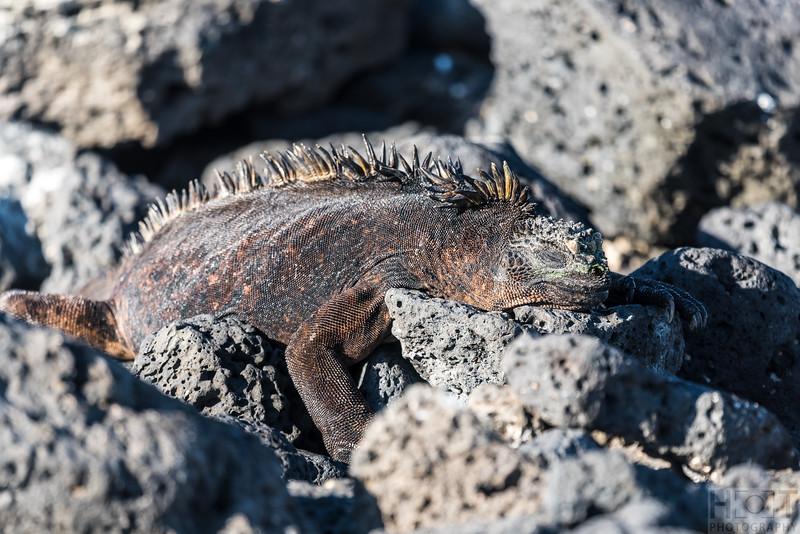 Marine Iguana's