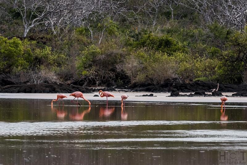 American Flamingo Lagune