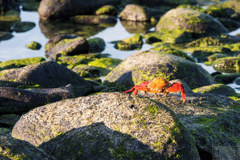 Lightfoot Crab