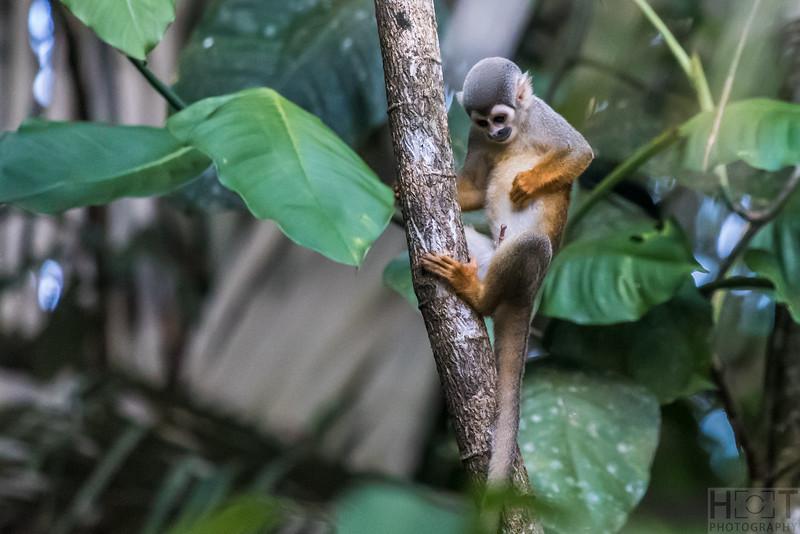 Totenkopfaffe (Squirrel monkey)