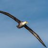 Galapagos Albatros (Waved Albatros)