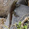 Galápagos Lavaeidechse