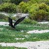 Der Fregattvogel sucht Eier
