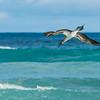Blaufuss Tölpel, Tortuga Bay
