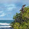 Pelikan, Tortuga Bay