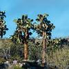 Opuntien Bäume