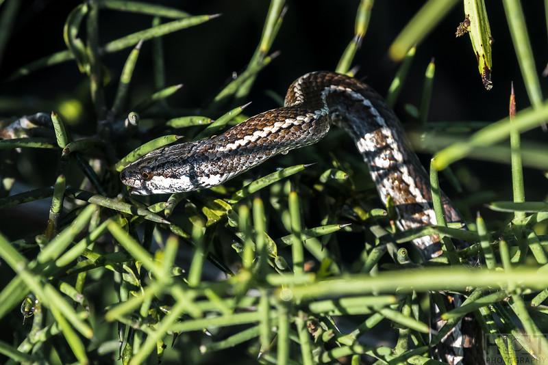 Steindachner's Snake