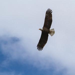 Bald Eagle, Maligne Valley