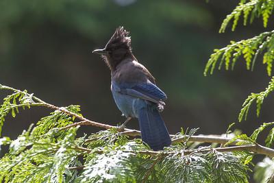Steller's Jay (Diademhäher), Shannon Falls