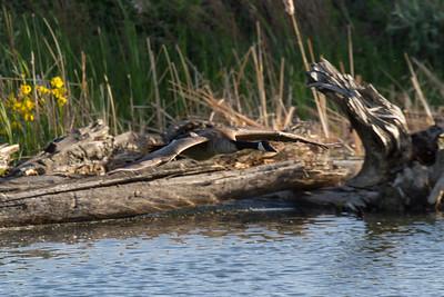 Canada Goose, Kelowna