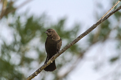 Brewer's Blackbird Female, Kelowna