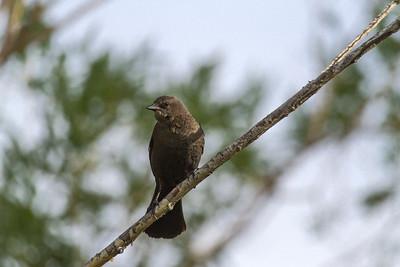 Brewer's Blackbird Female, Kelowna