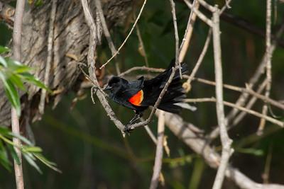 Red-winged black bird, Kelowna