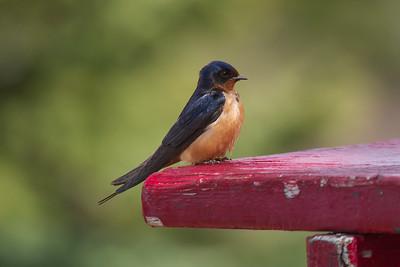 Barn Swallow, Bow Lake