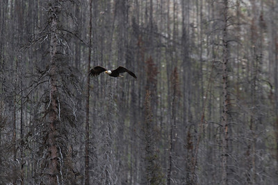 Bald Eagle, Maligne Valley