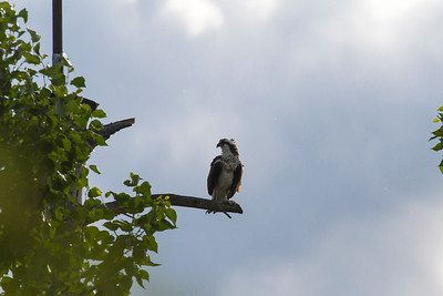 Canadian Osprey Bird, Kelowna