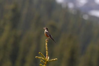American Robin (Wanderdrossel)