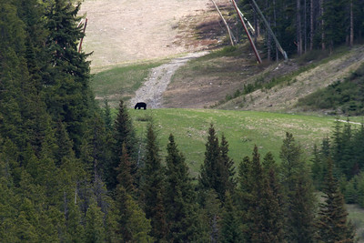 Black bear on the sky slope of Lake Louise