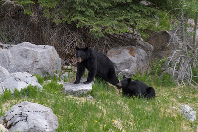 Black Bears, Maligne Valley, Jasper National Park