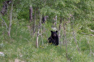 Black Bear near Medicine Lake